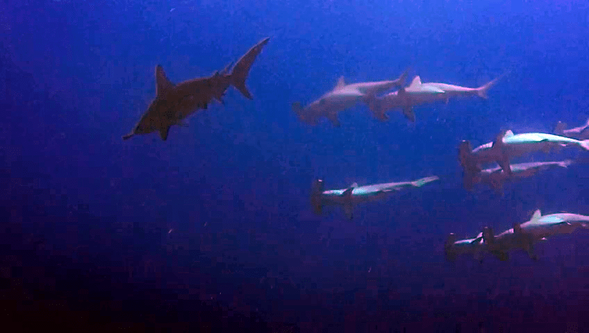 Gli Squali Martello - The Hammerhead Sharks - intotheblue.it