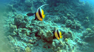 The Red Sea Bannerfish