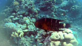 The red-breasted Wrasse