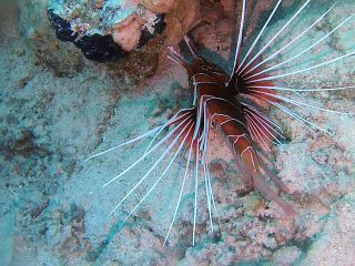 Il Pesce Scorpione - The Red Lionfish - Pterois Volitans - Intotheblue.it