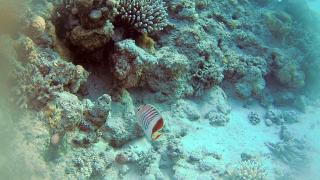 The Eritrean Butterflyfish