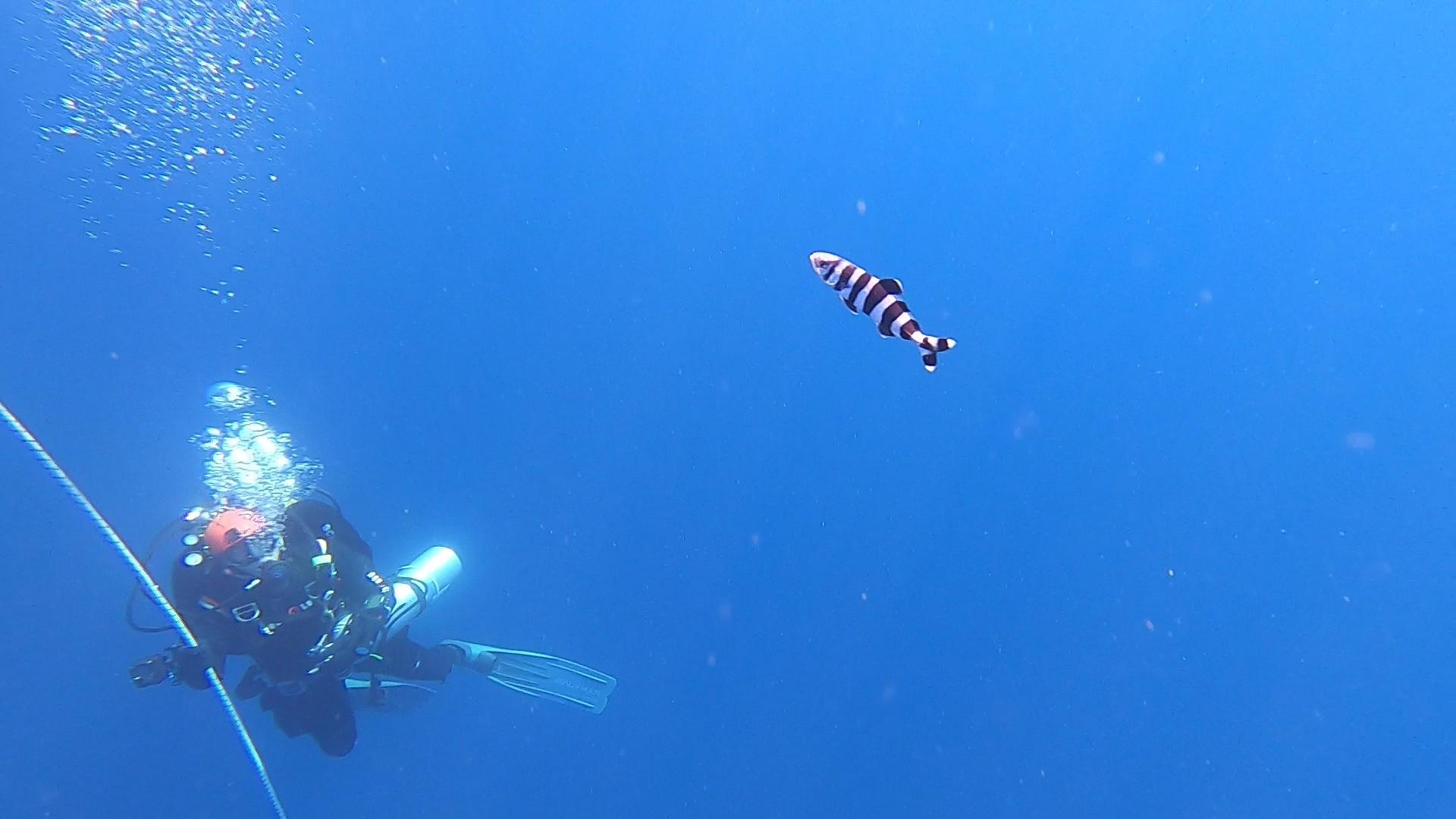 Naucrates ductor Pesce Pilota Pilot fish intotheblue.it