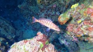 Serranus cabrilla - Perchia - Comber fish