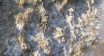 Granchio corridore - Pachygrapsus marmoratus