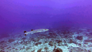Grande Barracuda - Sphyraena barracuda