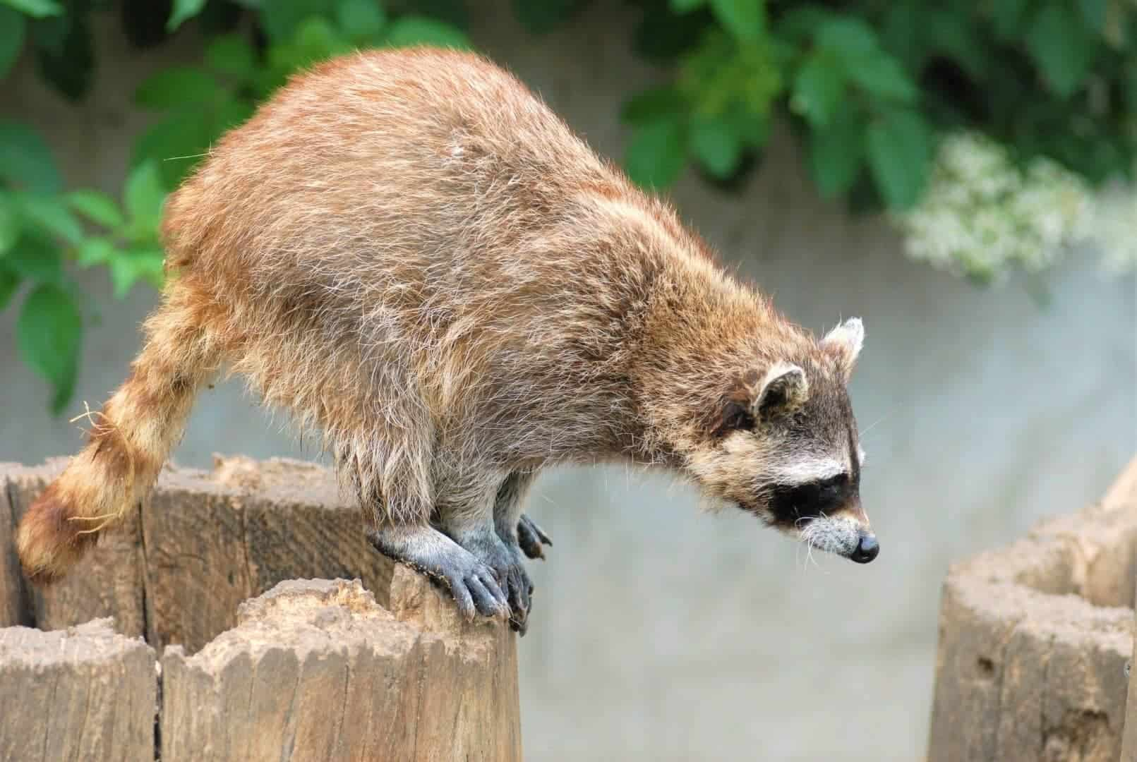 How High Can Raccoons Jump From Ground & From Height? & How Far?