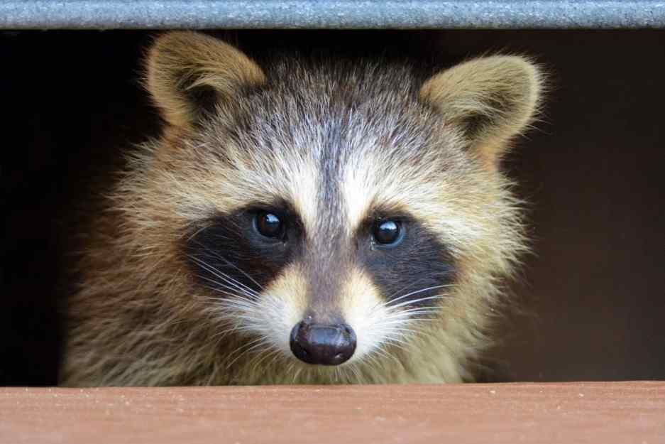 Raccoon In The Deck