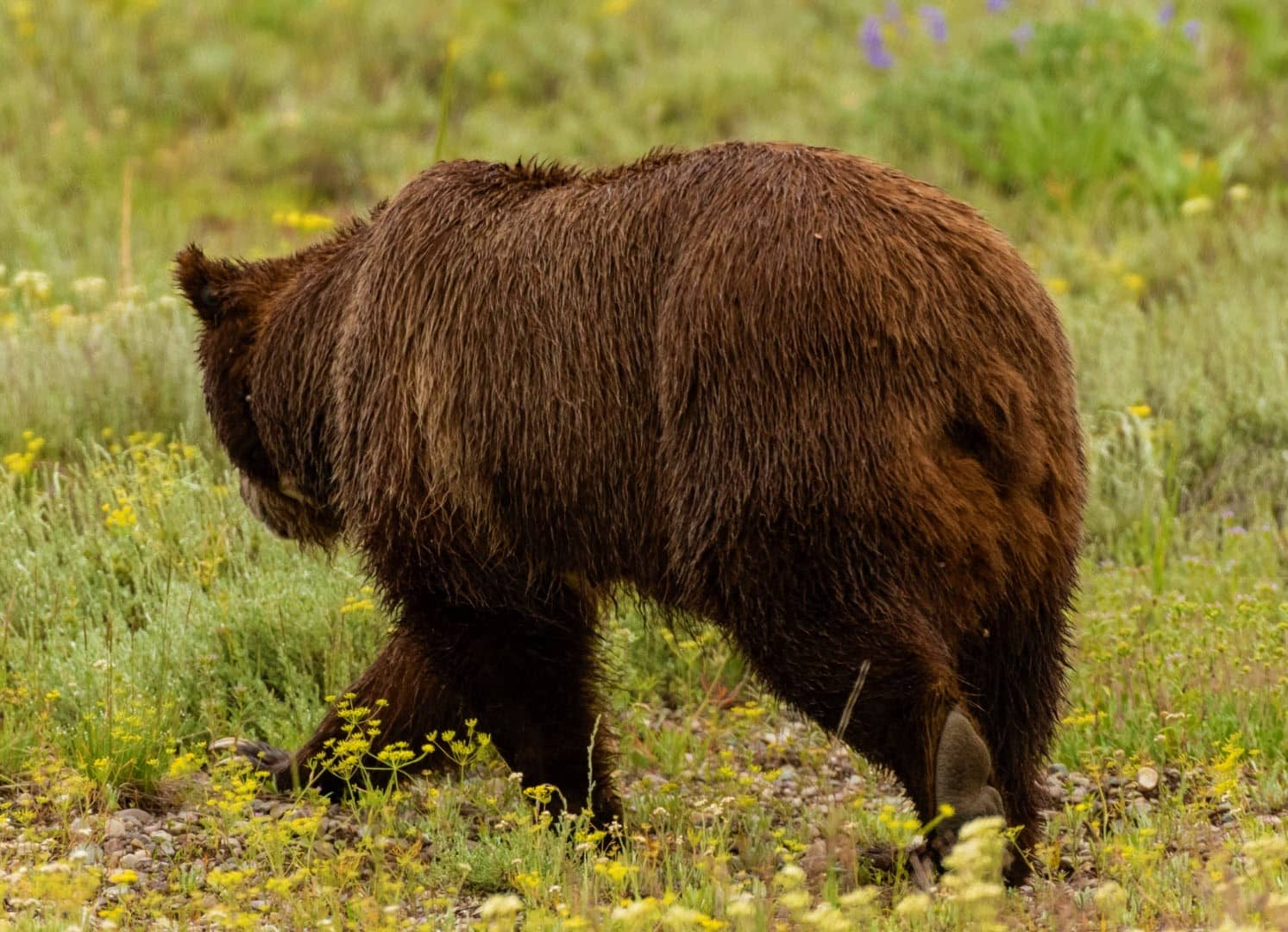 Do Bears Have Tails How Long Is It Do Bears Wag Their Tails....