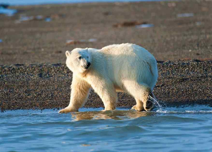 Do Bears Have Tails How Long Is It Do Bears Wag Their Tails...
