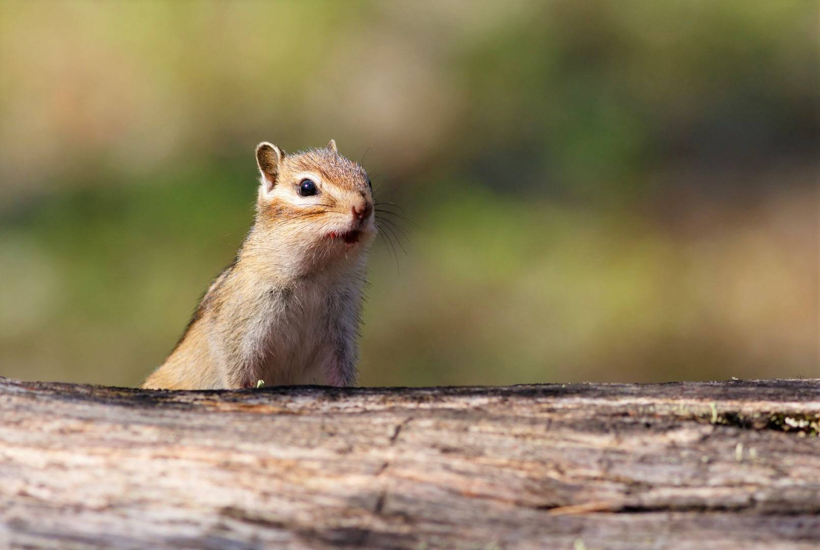 When, What & Why Chipmunks Does Make Sounds? [Chip-Chip]