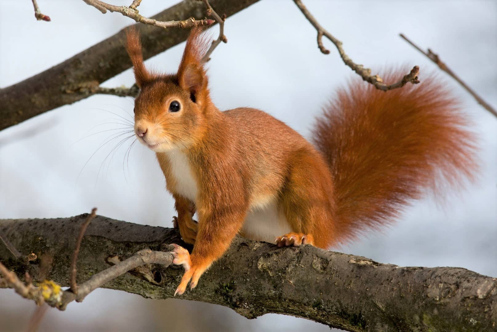 When, What & Why Does Squirrels Make Sounds [Crying, Mating...]