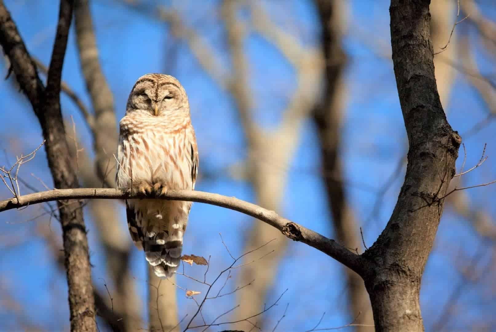 Where Do Owls Sleep How Do They Sleep Face Down