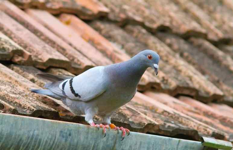 When Do Pigeons Lay Eggs? The Complete Process...
