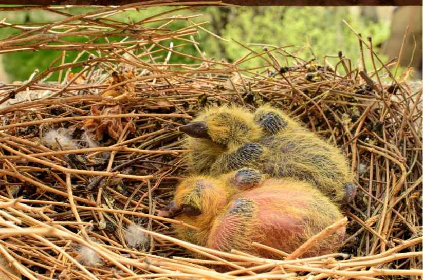 Two Baby Pigeons in the nest