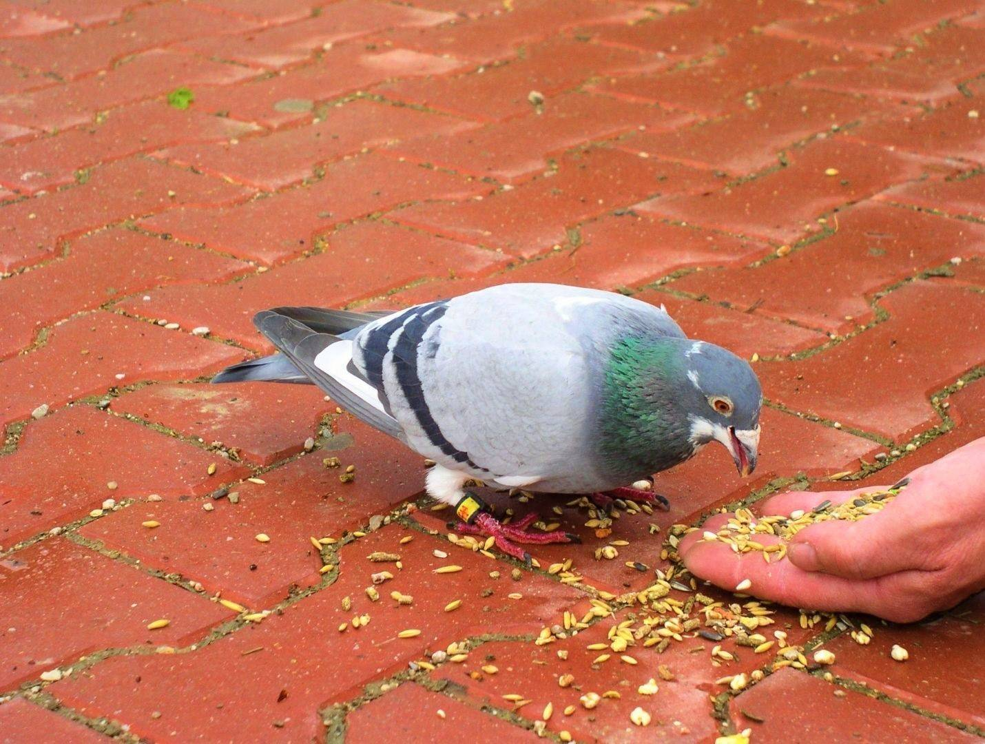 What Do Pigeons Eat? What To Feed Them? & Alot More...