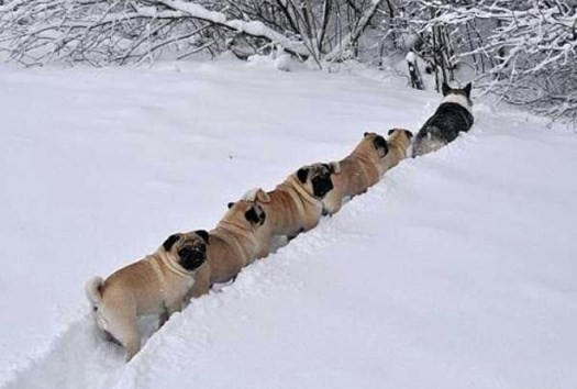 Pugs in line in a snow behind a corgi.