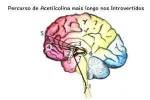 Percurso de Acetilcolina mais longo nos Introvertidos