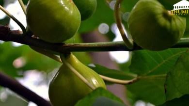 Photo of الفينيقيون لم يعلّموا الأمازيغ زراعة شجرة التين