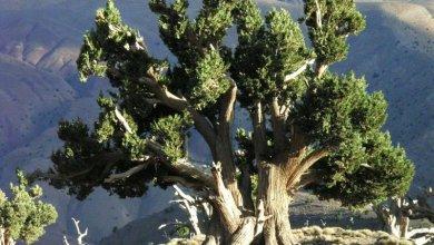 Photo de Appel à la création d'une réserve naturelle pour sauver le genévrier thurifère dans l'Aurès