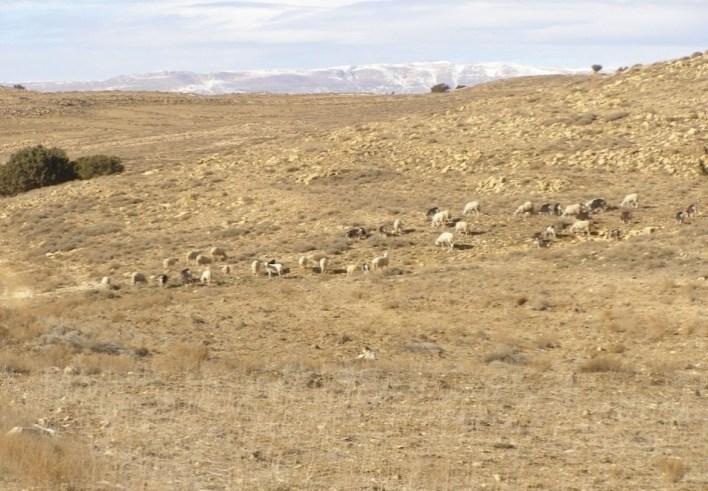 Photo 3.a : troupeau de brebis et de chèvres près de thurifère (la région de Hkoukth).