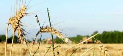 """Grano duro/ GranoSalus attacca l'accoppiata Divella-Coldiretti: """"Vogliono penalizzare gli agricoltori"""""""