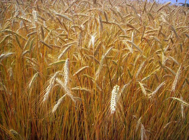 4 milioni di tonnellate di grano duro canadese 'tossico' pronto per essere esportato: indovinate dove…