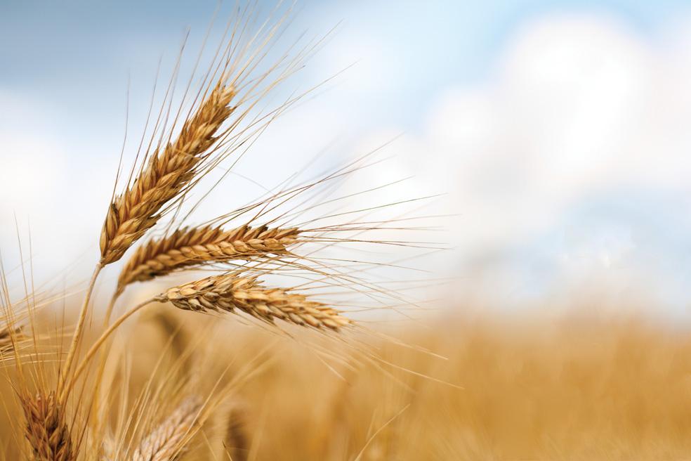 I grillini dell'Ars al Governo Di Maio-Salvini: istituire subito la CUN per rilanciare il grano duro