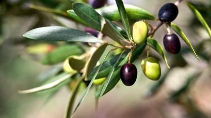 Olio d'oliva extra vergine italiano: quest'anno produzione quasi dimezzata. Attenti all'olio tunisino...