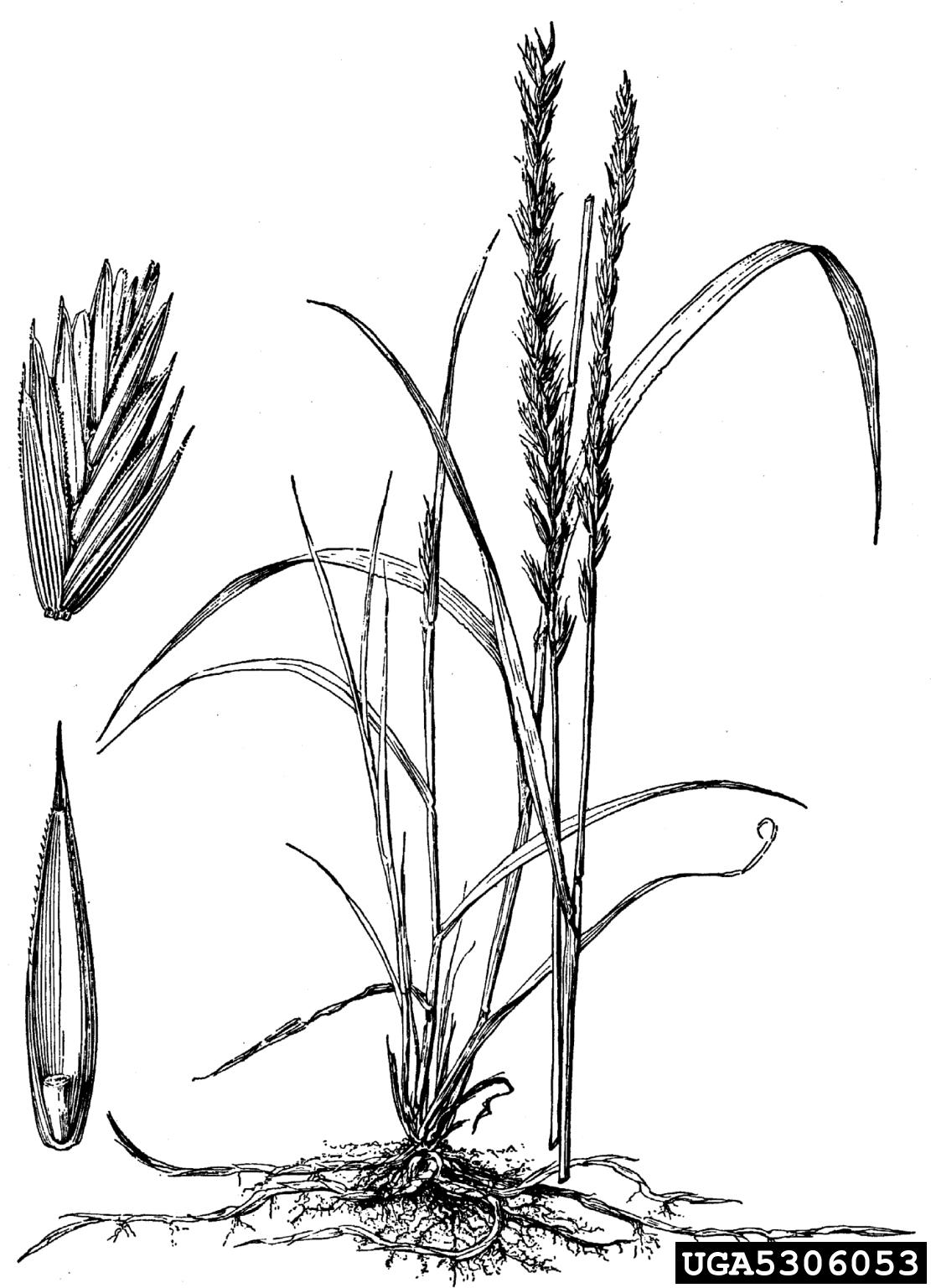 Quackgrass Elymus Repens Cyperales Poaceae