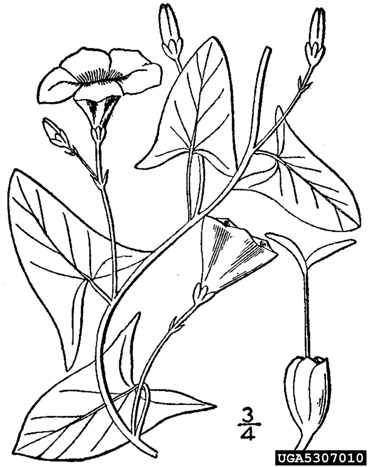 Field Bindweed Convolvulus Arvensis Sol Es