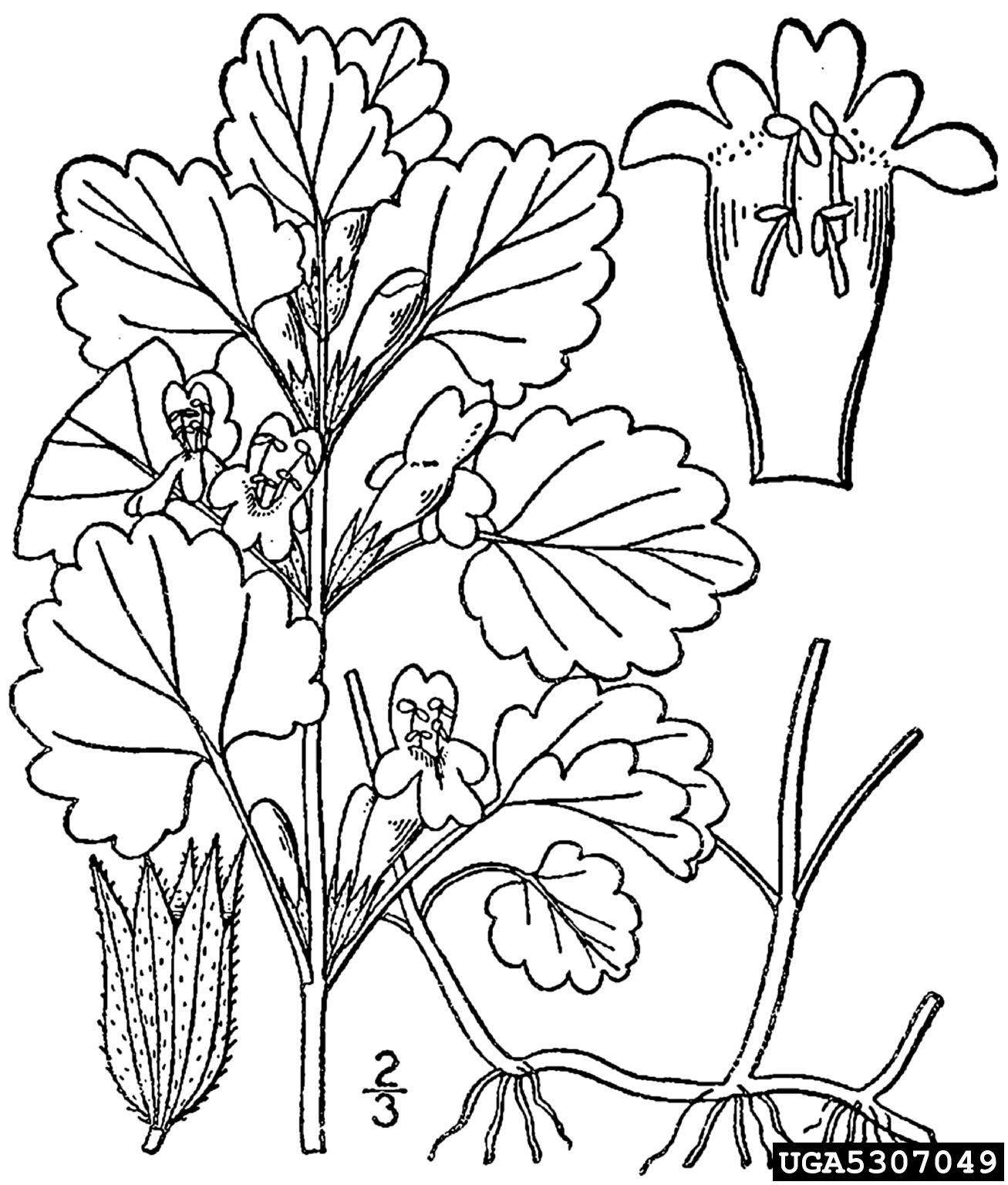 Ground Ivy Glechoma Hederacea Lamiales Lamiaceae