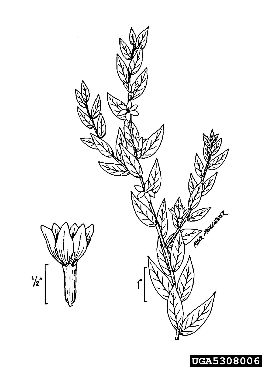 Purple Loosestrife Lythrum Salicaria Myrtales Lythraceae