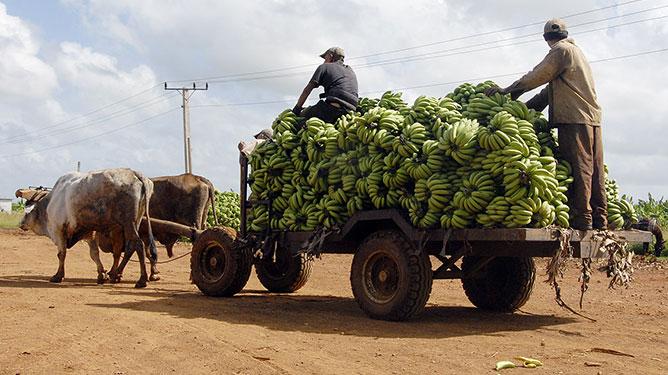 Carreta de bueyes con plátano