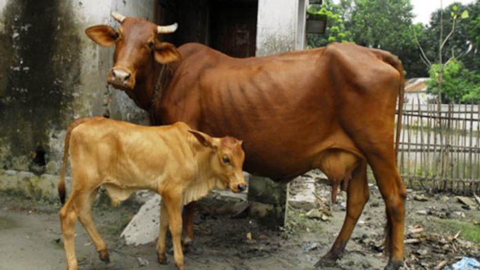 cow 505 181120032319