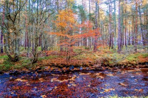 Cawdor burn is in the foreground with an autumn woodland scene beyond
