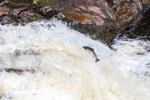 Leaping Salmon at Falls of Shin