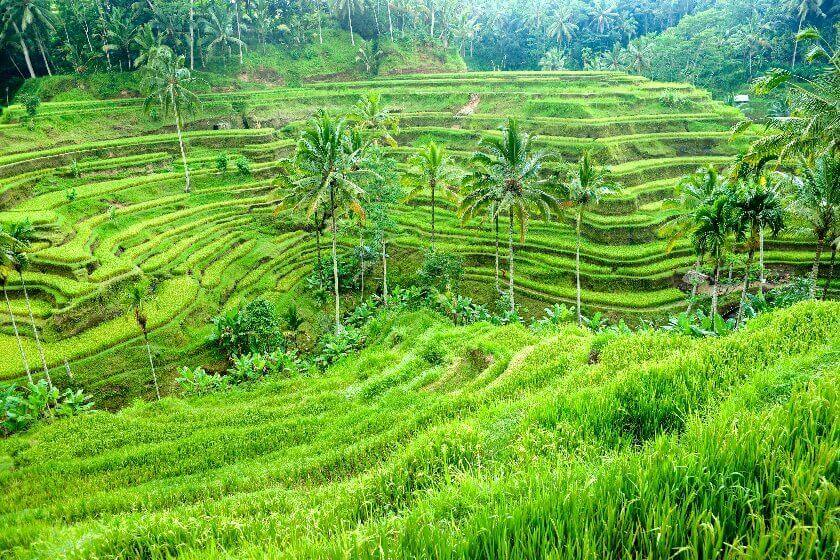 Indonesia Agriculture Numbers Overstated, Harms Nation