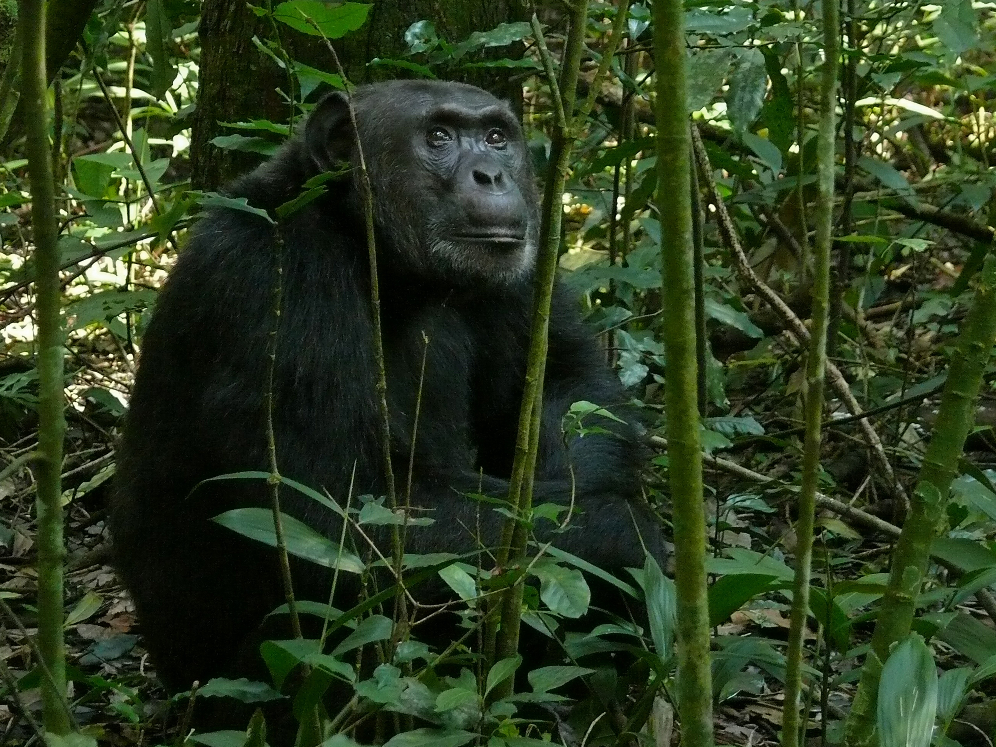 Chimpancé en la selva, por Bernard Dupont - Creative Commons License