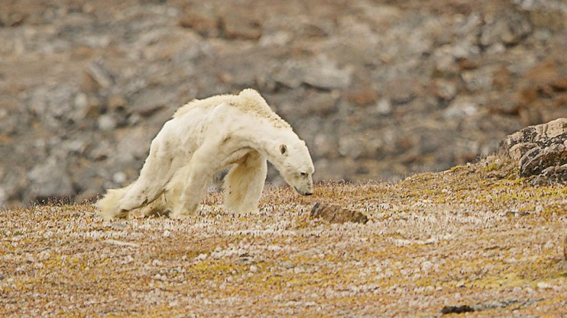 Image result for arctic animals dying