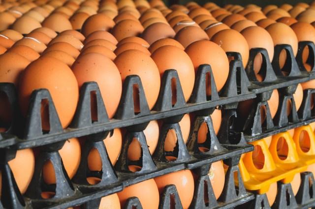 become an egg supplier