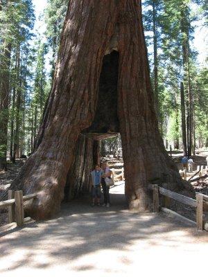 Tour dei Parchi, bosco di sequoie a Mariposa Grove (Yosemite NP, Stati Uniti)