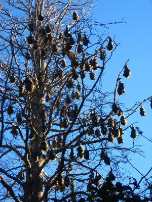 Viaggio a Sydney, pipistrelli nei Royal Botanic Gardens (New South Wales, Australia)