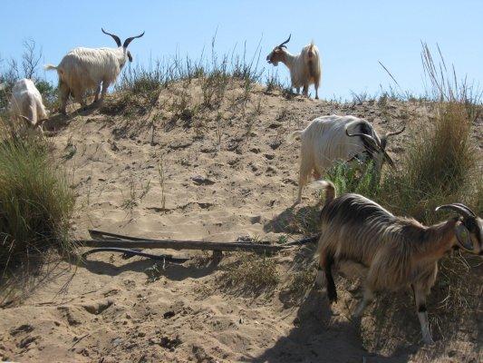 Viaggio in Sardegna, gregge di capre al pascolo a Piscinas (Italia)