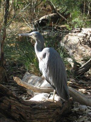Uccello Alice Springs Desert Park