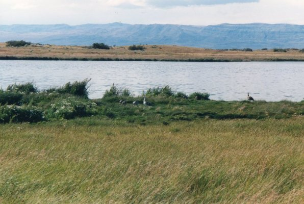 Uccelli laguna Nimez El Calafate