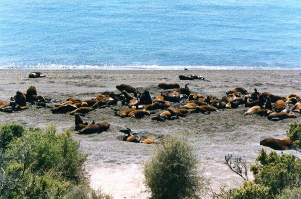 Colonia di leoni marini a Punta Norte nella Penisola di Valdes in Argentina