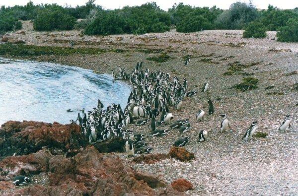 Pinguini Punta Tombo Patagonia