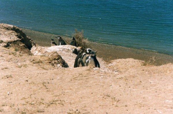 Pinguini Magellano Peninsula Valdès Patagonia