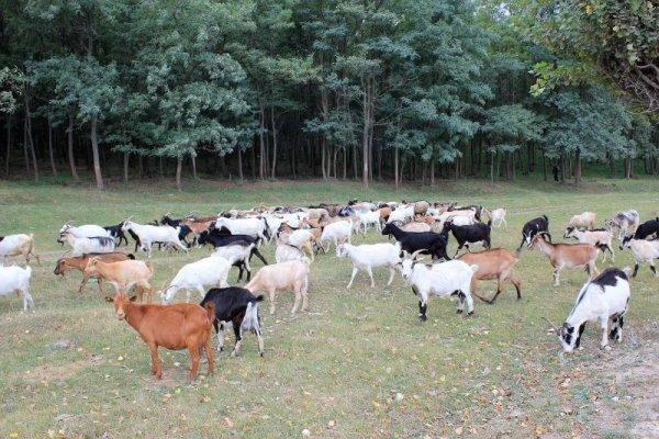 Gregge capre pascolo Moldova