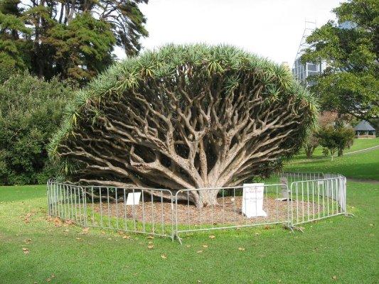 Esemplare di Dracaena Draco nei Royal Botanic Gardens di Sydney